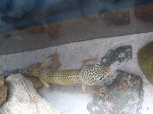 """Spots"" the leopard gecko"