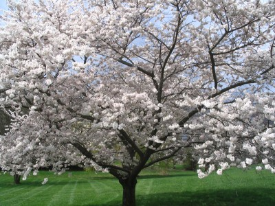 Tree in Springtime