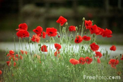 15_05_3-poppies_web